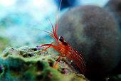 Lysmata peppermint shrimp in underwater scene on the rock