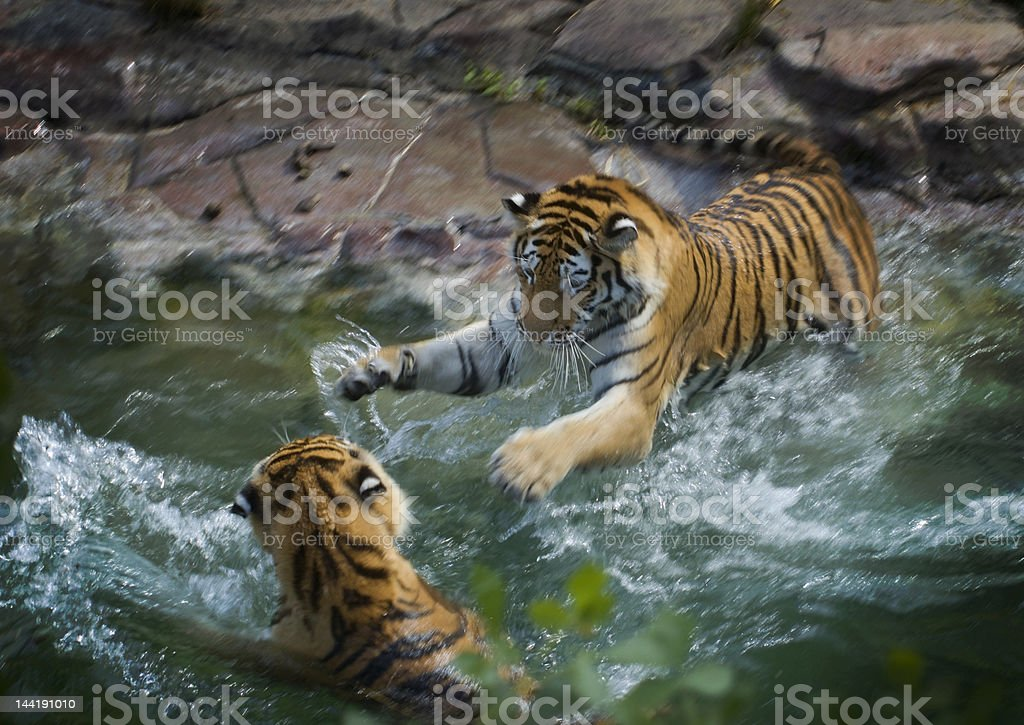 I'm Gonna Get You Tigers Motion Blur and Panning stock photo