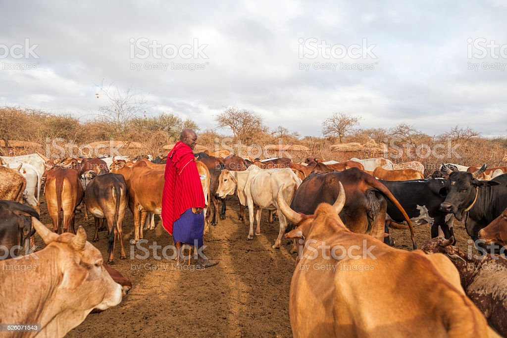 Maasai elder in traditional shuka with his cattle. stock photo