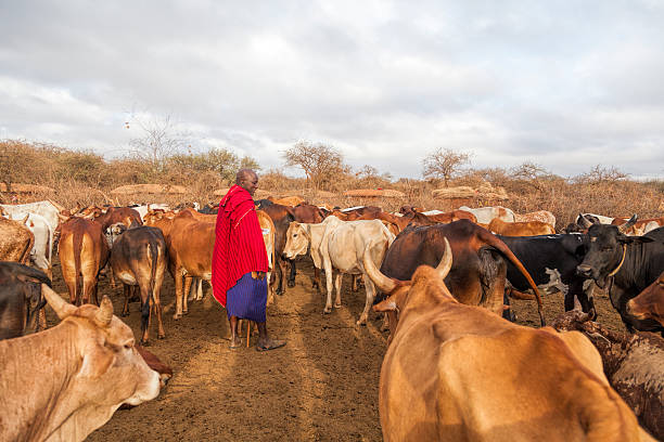 maasai elder in traditional shuka with his cattle. - kenyan culture stock photos and pictures