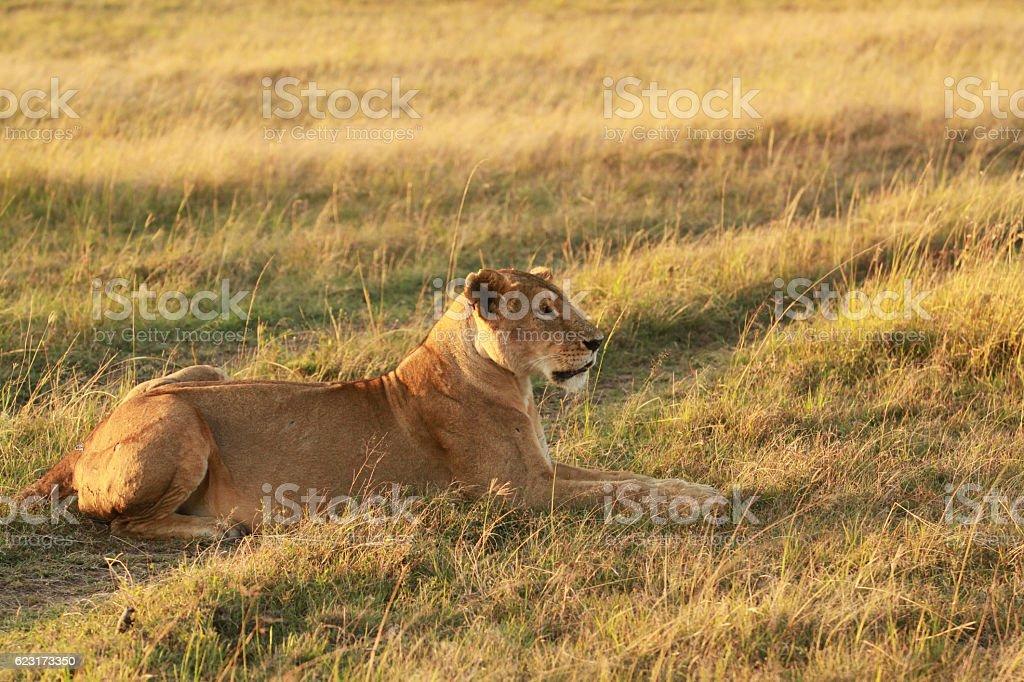 Maasai Lioness stock photo