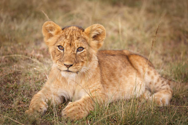 Maasai Mara Lion Cub Young lion cub on the Maasai Mara, Enonkishu Conservancy, Kenya lion cub stock pictures, royalty-free photos & images