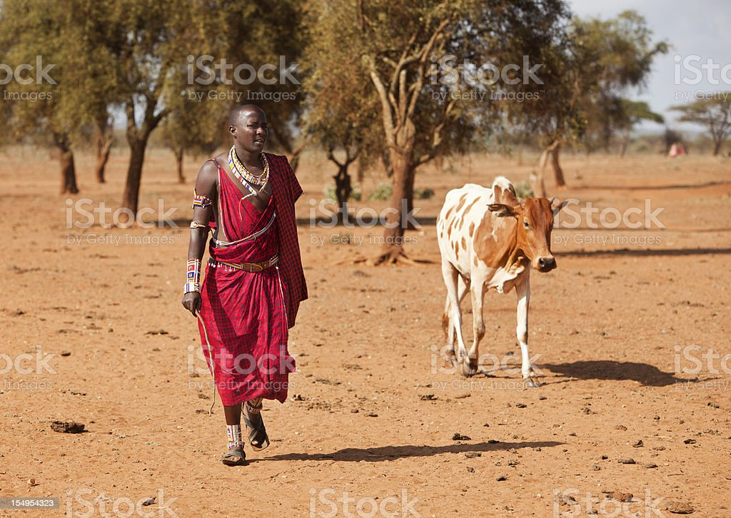 Maasai warrior returning with cow. royalty-free stock photo