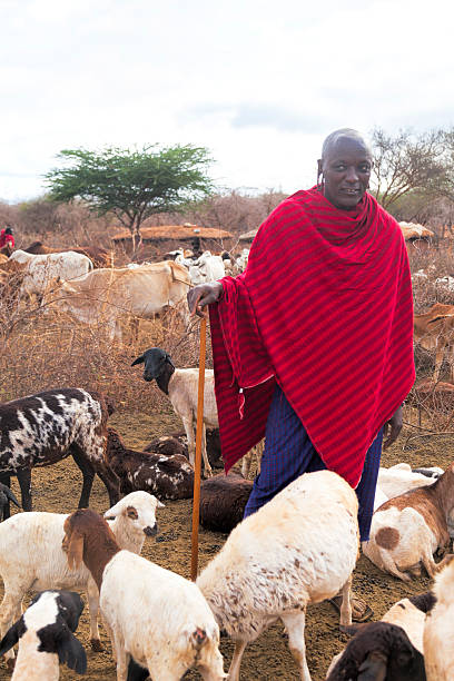 maasai with his goats in the village, kenya. - kenyan culture stock photos and pictures
