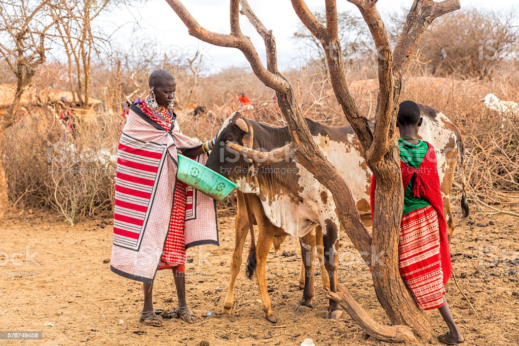 Maasai woman giving extra food to starving zebu cow, Kenya. stock photo