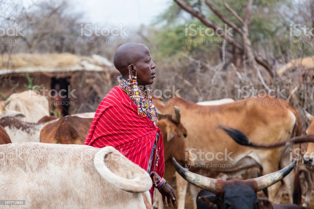 Maasai woman with cattle in village. stock photo