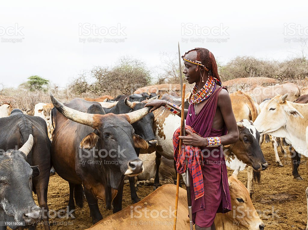 Maasai woman with spear with cattle  stock photo