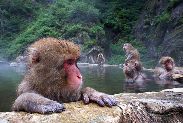 Macaca fuscata Macaca fuscata in thermal waters. Nagano province whakarewarewa stock pictures, royalty-free photos & images