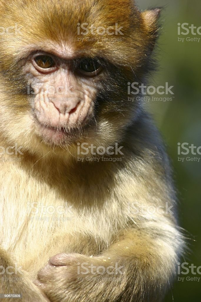 macaca sylvana, stock photo