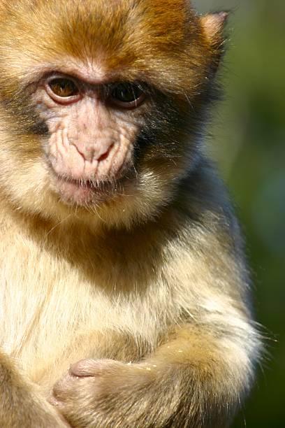 sylvana, macaca - herpens stock-fotos und bilder