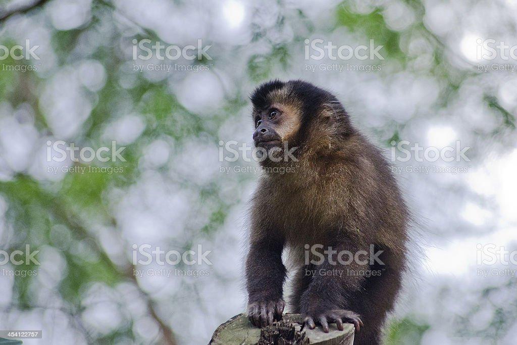 macaco animal stock photo