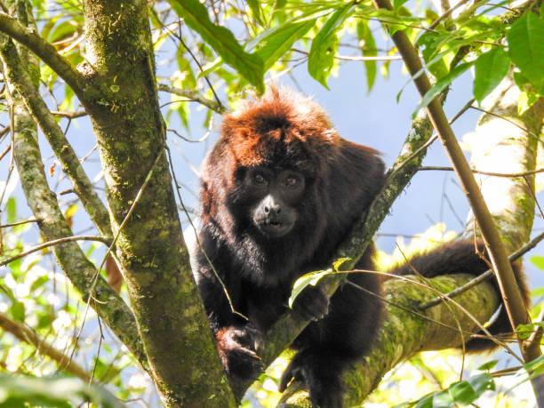 macaco bugio - bugio imagens e fotografias de stock