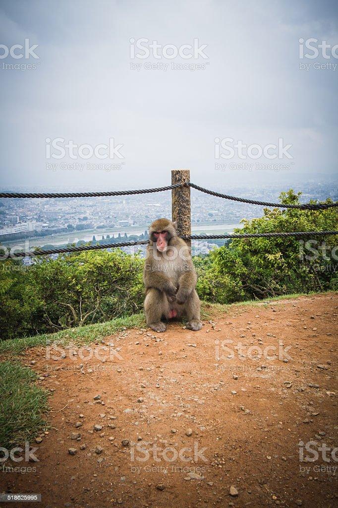 Macaco - foto stock