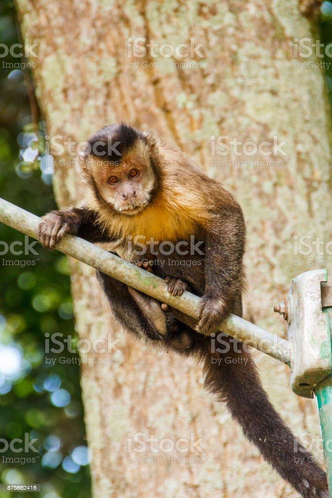Macaco Prego stock photo