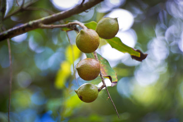 Macadamia nuts on a Macadamia Tree in Hawaii The Macadamia nuts hanging on a Macadamia tree in Hawaii. An agriculture product. macadamia nut stock pictures, royalty-free photos & images