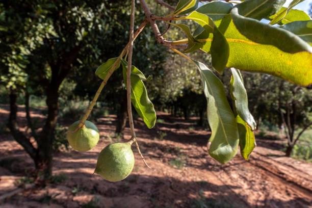 Macadamia nuts on the evergreen tree, macadamia plantation stock photo