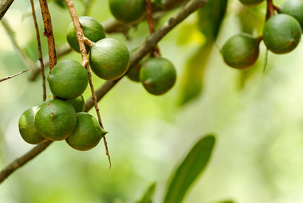 Macadamia nuts Group of macadamia nuts hanging on its tree in the plantation macadamia nut stock pictures, royalty-free photos & images
