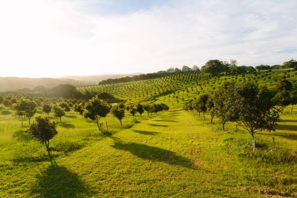 macadamia orchard - frutteto foto e immagini stock
