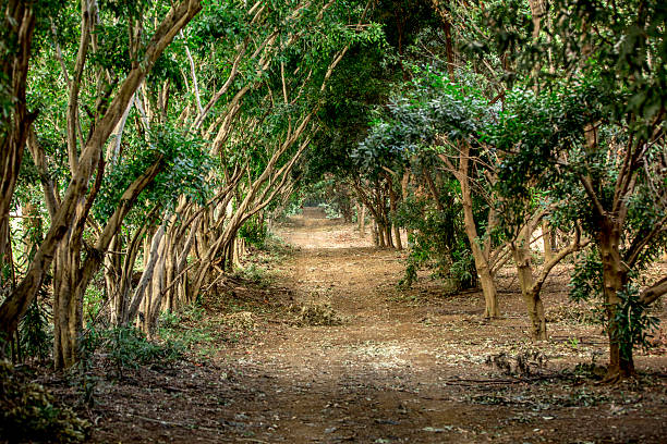 Macadamia Trees A road cuts through a macadamia orchard macadamia nut stock pictures, royalty-free photos & images