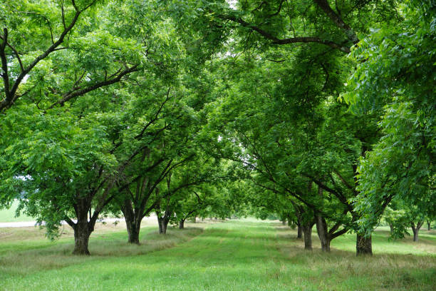 Macadamia Trees Macadamia Nut Trees in an Orchard macadamia nut stock pictures, royalty-free photos & images