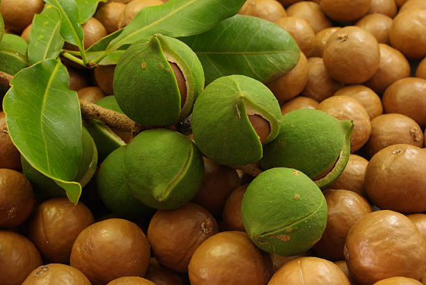 Macadamias A bunch of macadamia nuts in the husk and macadamia leaves arranged on top of macadamia nuts. The green husks around the nuts are just starting to open and reveal the nuts inside. macadamia nut stock pictures, royalty-free photos & images