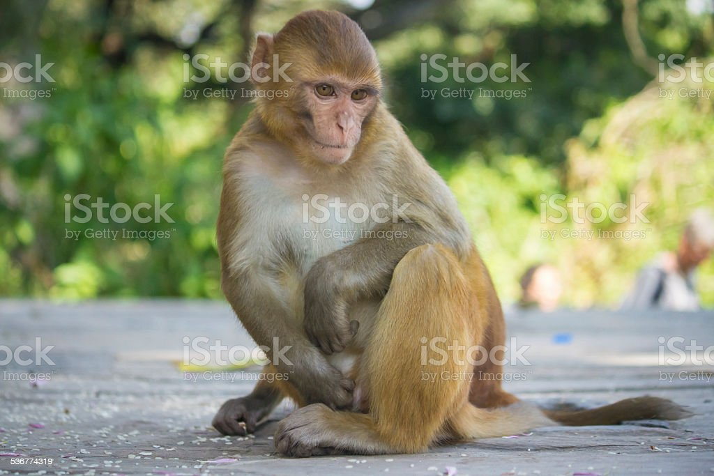 Macaque at the Monkey Temple, in Kathmandu stock photo