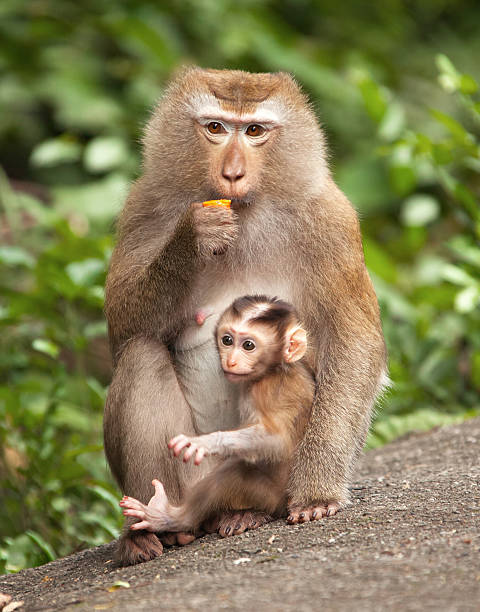 macaque cub - mammal stock photos and pictures