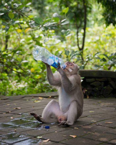 Macaque drinking bottled water in Ubud Monkey Forest, Bali, Indonesia stock photo
