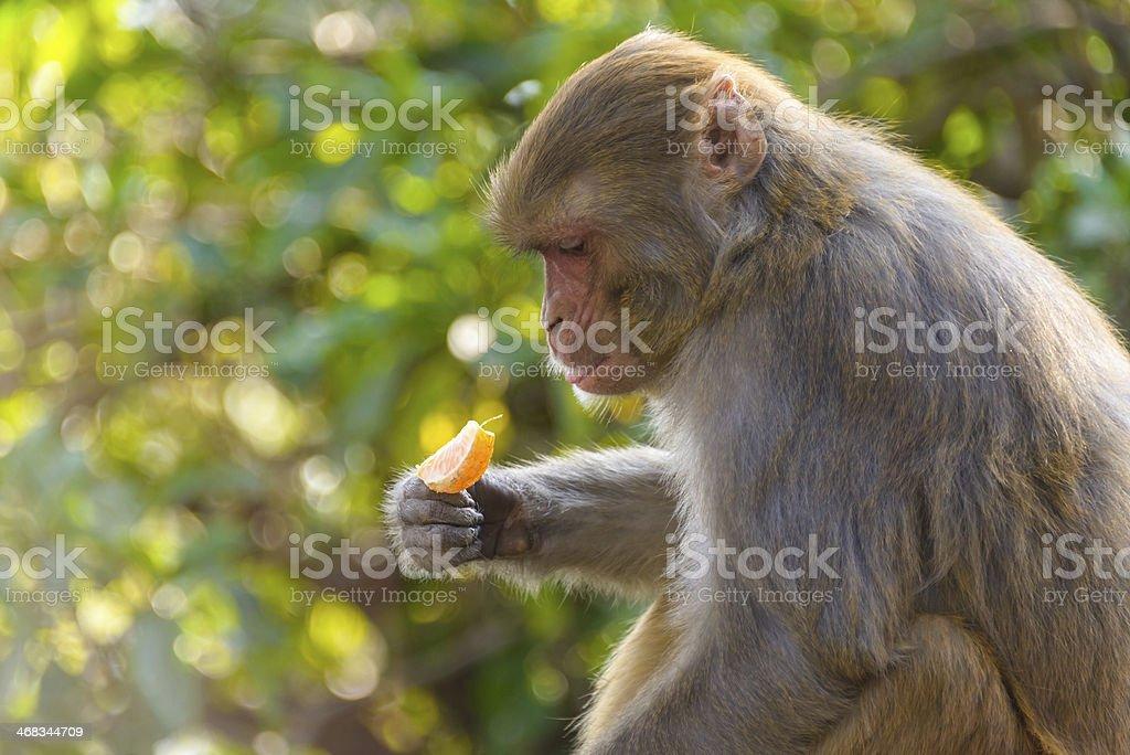 Macaque eating an orange stock photo