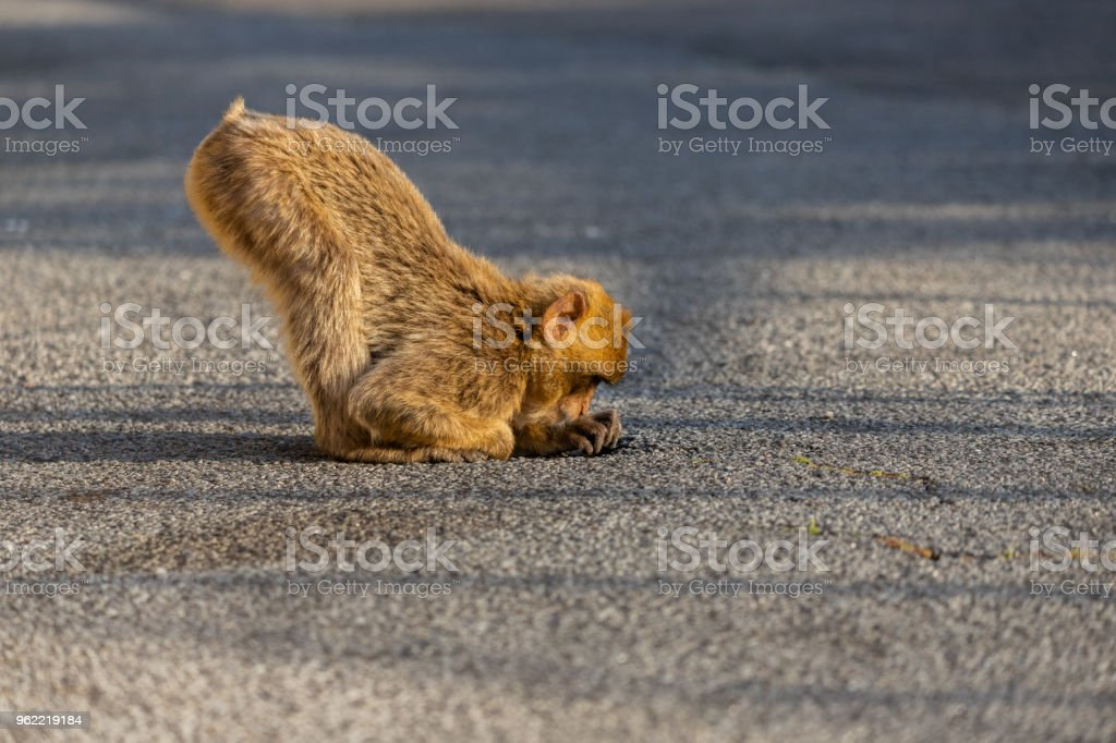 Macaque eating stock photo