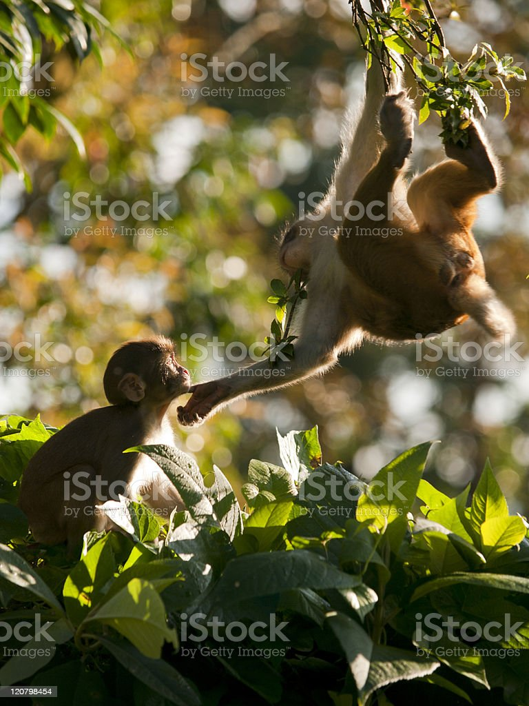 Macaque family showing affection royalty-free stock photo