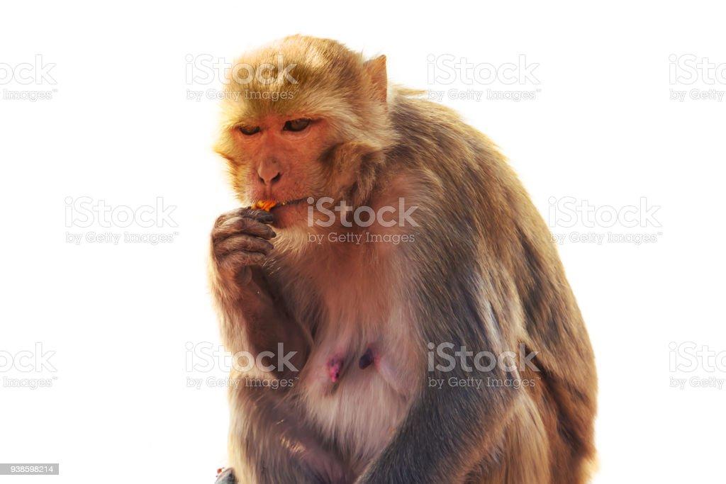 macaque Macaca sylvanus stock photo