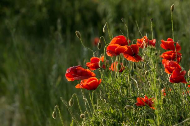 makowa łąka – zdjęcie