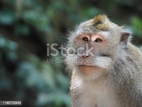 Closeup horizontal photo of the chest, face and head of an adult macaque monkey. soft focus background