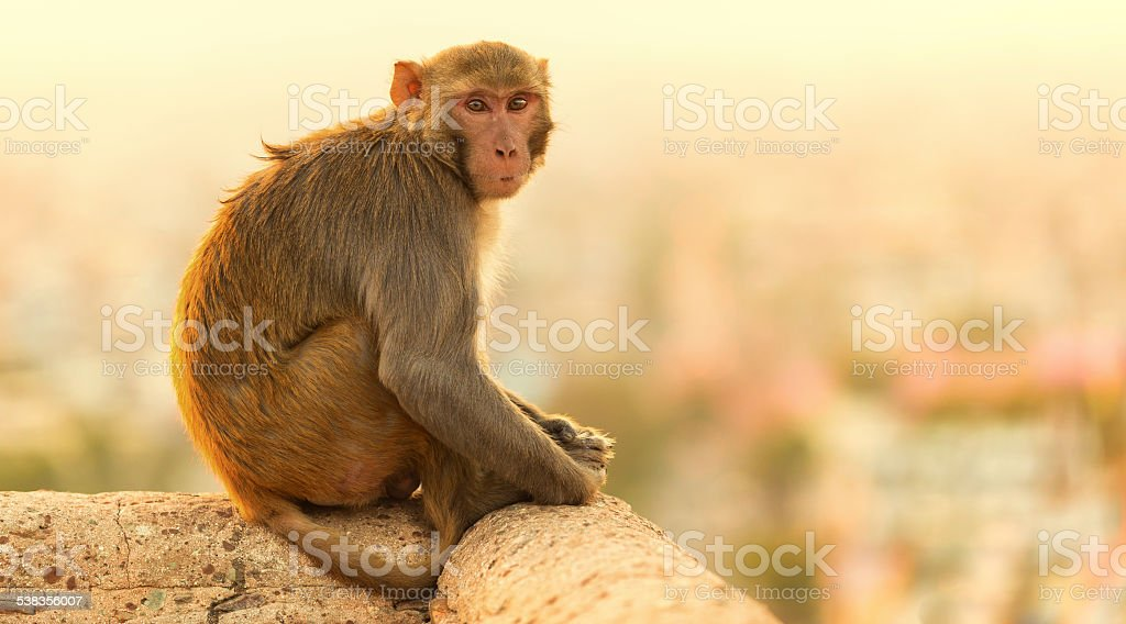 Macaque monkey at sunset Monkey Temple, Jaipur. stock photo