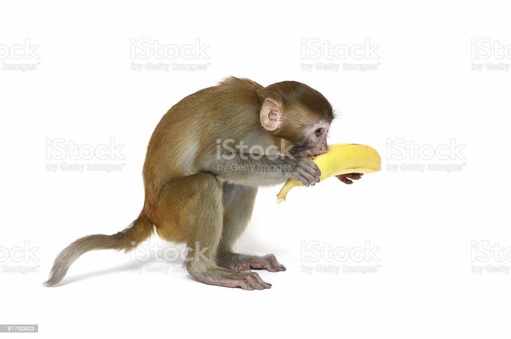 Macaque monkey eating a banana isolated on a white surface stock photo