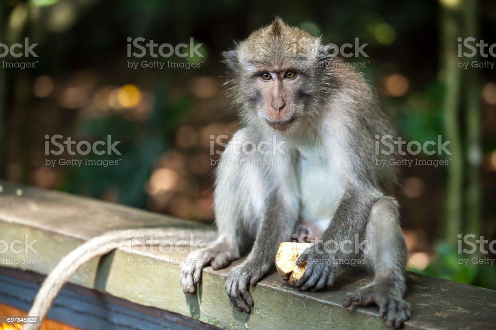Macaque monkey eating alone stock photo