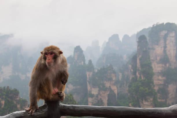 macaque monkey in front of the zhangjiajie mountains in wulingyuan national park, hunan - china - macaco foto e immagini stock