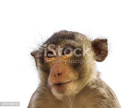Close up face of Macaque monkey isolated on white background