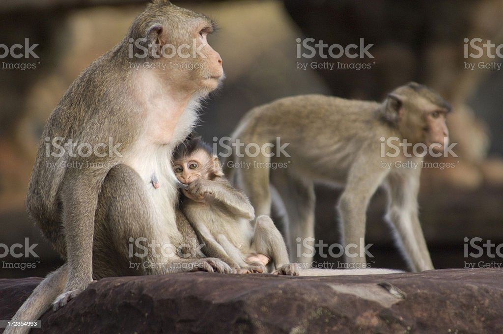 Macaque monkey nursing at steps of Angkor Wat in Cambodia royalty-free stock photo