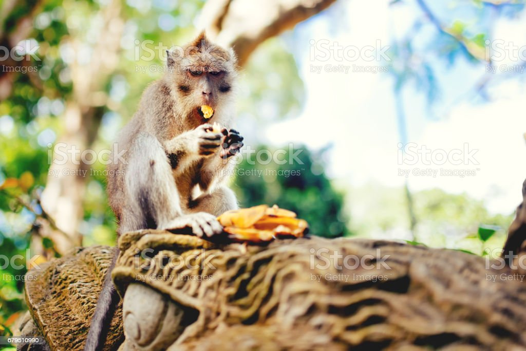 Macaque monkey or long tailed monkey eating bananas stock photo