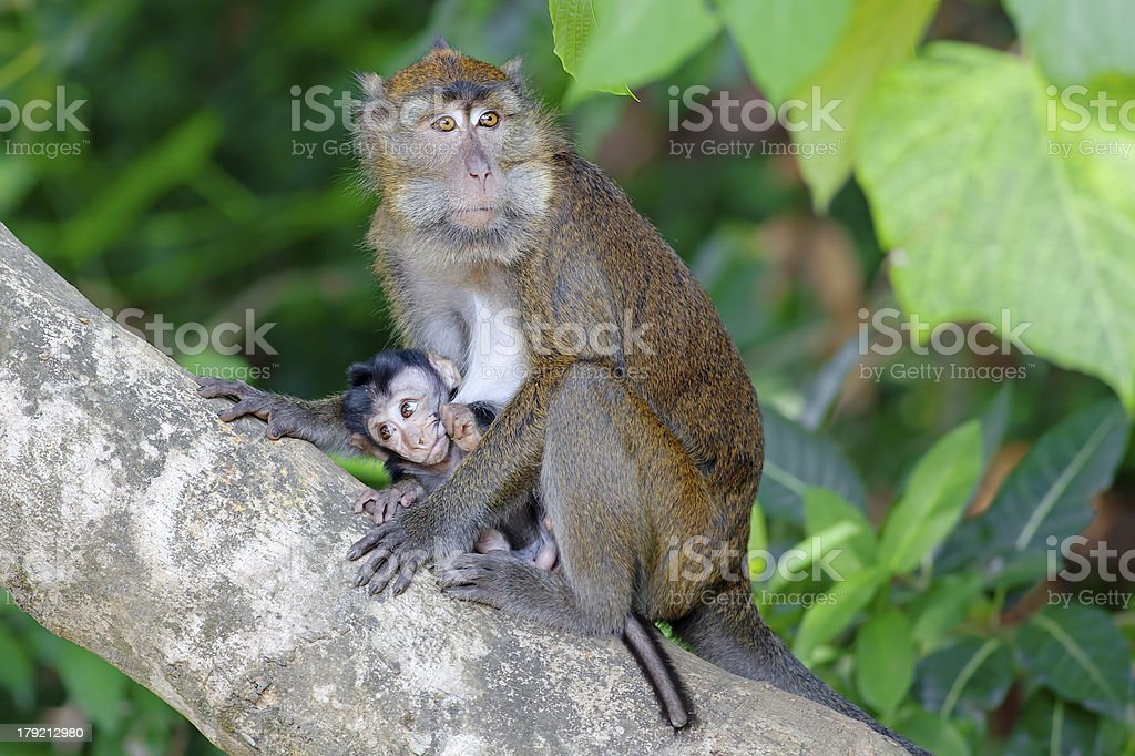Macaque Monkey royalty-free stock photo