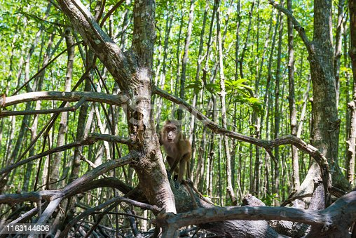Cute macaque monkey sitting on tree in tropical mangrove forest with green foliage and numerous roots