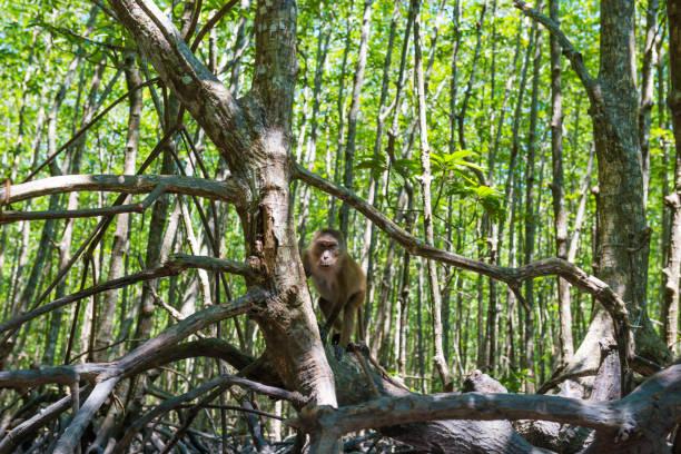 macaque monkey sitting on mangrove tree - macaco foto e immagini stock