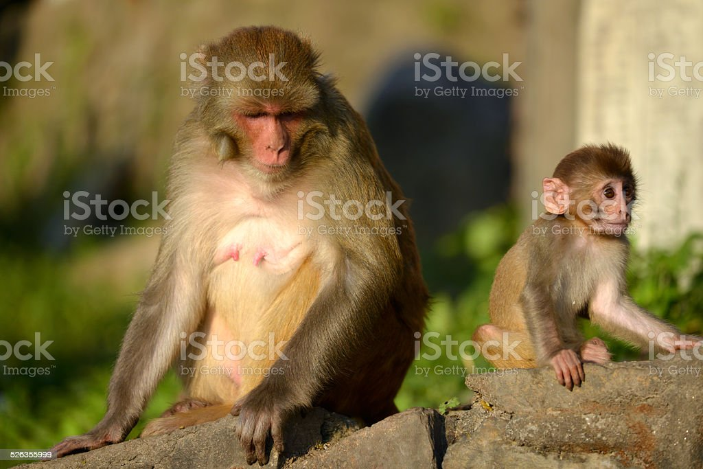 Macaque monkey with his baby stock photo