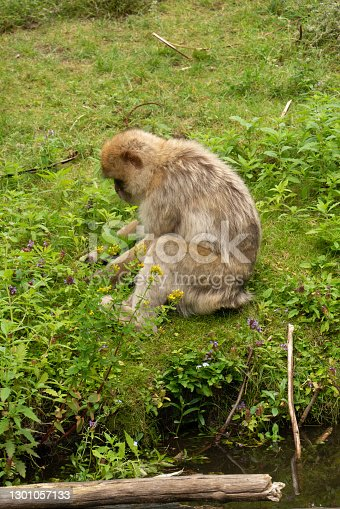 Close up of a wild macaque or Gibraltar monkey, one of the most famous attractions of the British overseas territory. Barbary macaques (berberaffe)