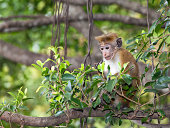 Young macaque monkey sitting on a tree in Sri Lanka