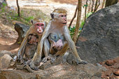 Two Macaque monkey mothers with their cute babies.