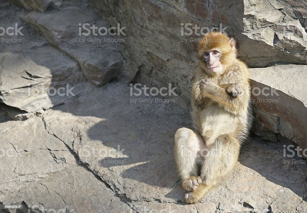 Macaque royalty-free stock photo