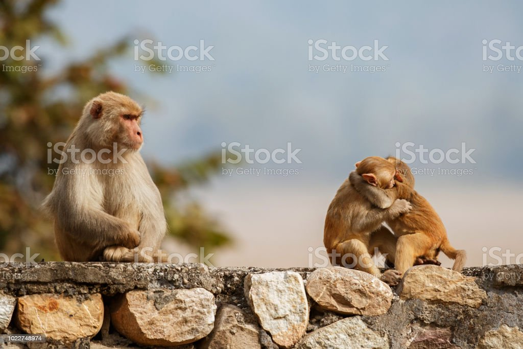 Macaque rhesus on the wall with beautiful blurry background stock photo